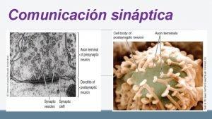 Comunicacin sinptica OBJETIVOS Identificar los componentes de la