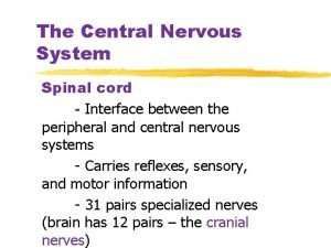 The Central Nervous System Spinal cord Interface between