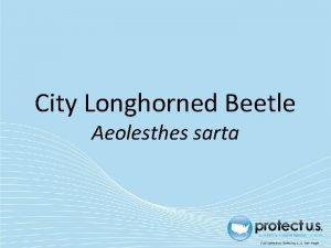 City Longhorned Beetle Aeolesthes sarta City Longhorned Beetle