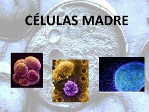 CLULAS MADRE NDICE Qu es una clula madre