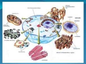 ORGANELAS CITOPLASMTICAS I Citoplasma Nessa regio encontramos uma