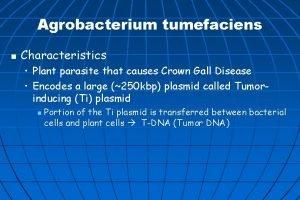 Agrobacterium tumefaciens n Characteristics Plant parasite that causes