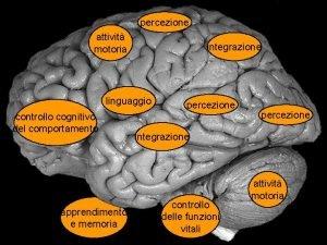 percezione attivit motoria integrazione Vista laterale di cervello
