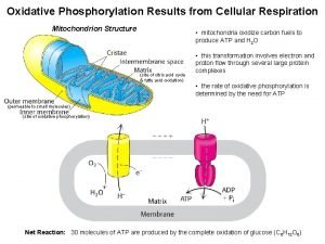 Oxidative Phosphorylation Results from Cellular Respiration Mitochondrion Structure