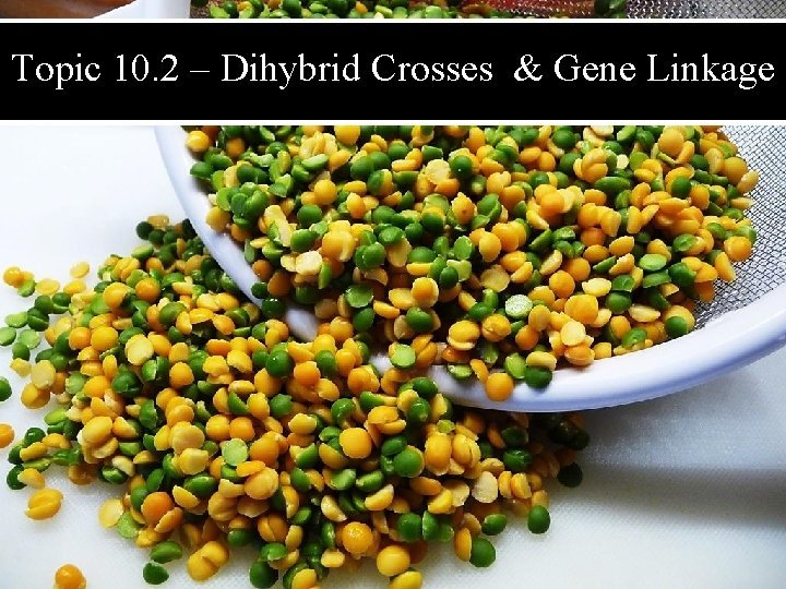 Topic 10 2 Dihybrid Crosses Gene Linkage Dihybrid