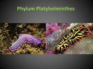 Phylum Platyhelminthes Phylum Platyhelminthes Pljosnati parenhimatini crvi Do
