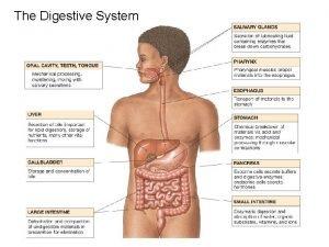 The Digestive System Digestive Processes Ingestion taking fooddrink