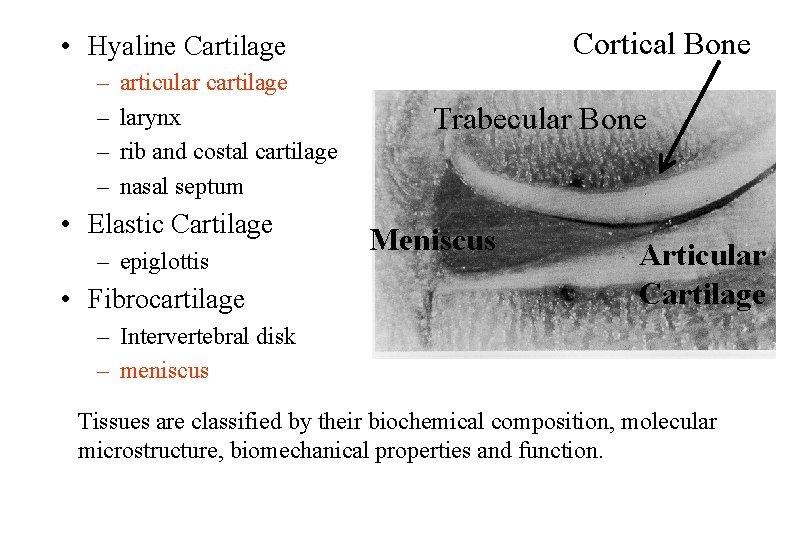 Cortical Bone Hyaline Cartilage articular cartilage larynx rib