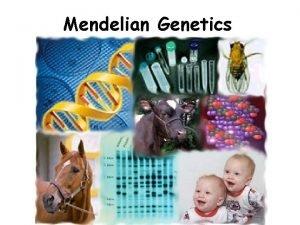 Mendelian Genetics Mendelian Genetics Heredity the passing of