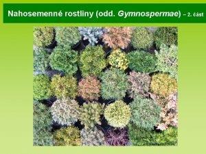 Nahosemenn rostliny odd Gymnospermae 2 st tapestrysmpots jpg