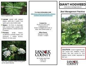 GIANT HOGWEED Heracleum mantegazzianum Giant Hogweed leaf Leaves