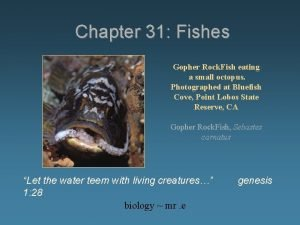 Chapter 31 Fishes Gopher Rock Fish eating a