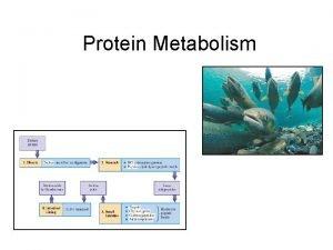 Protein Metabolism Protein Digestion Protein breakdown begins in