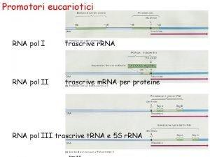 Promotori eucariotici RNA pol I trascrive r RNA