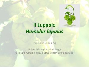 Il Luppolo Humulus lupulus Ing Helena Kopalova Universit