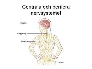 Centrala och perifera nervsystemet Centra och sinnen mn