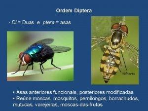 Ordem Diptera Di Duas e ptera asas Asas