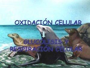 OXIDACIN CELULAR GLUCLISIS Y RESPIRACIN CELULAR C 6