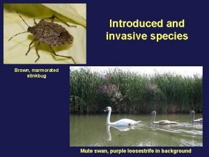 Introduced and invasive species Brown marmorated stinkbug Mute