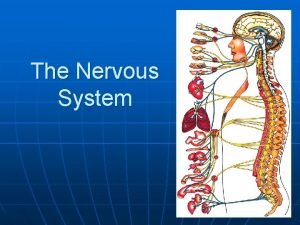 The Nervous System The human nervous system 1
