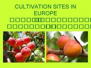 CULTIVATION SITES IN EUROPE APRICOT CULTIVATION IN SPAIN
