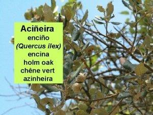 Acieira encio Quercus ilex encina holm oak chne