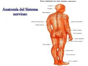 Anatoma del Sistema nervioso DIVISION DEL SISTEMA NERVIOSO