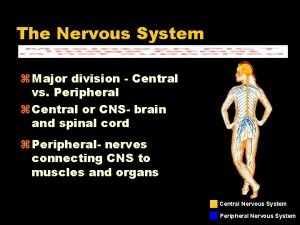 The Nervous System Major division Central vs Peripheral