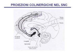 PROIEZIONI COLINERGICHE NEL SNC PROIEZIONI COLINERGICHE NEL SNC