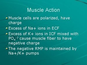 Muscle Action Muscle cells are polarized have charge