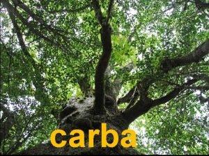 carba carba mours carballo albario rebola Quercus petraea