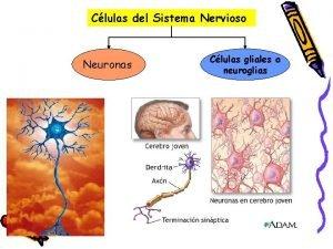 Clulas del Sistema Nervioso Neuronas Clulas gliales o