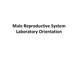 Male Reproductive System Laboratory Orientation Male Genitalia Testis
