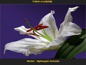 Cvijee za prijatelje Muzika Nightengale Serenade Neke je