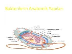Bakterilerin Anatomik Yaplar Kapsl Hcre Duvar Hcre Membran