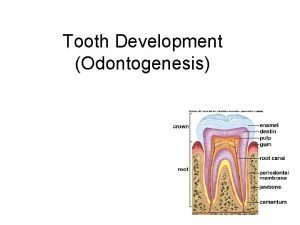Tooth Development Odontogenesis Dentition Primary dentition develops during