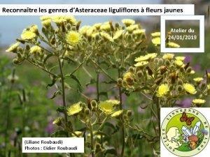 Reconnatre les genres dAsteraceae liguliflores fleurs jaunes Atelier