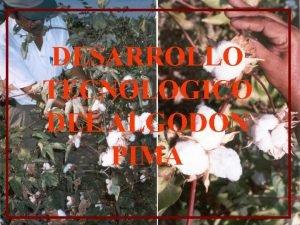 DESARROLLO TECNOLOGICO DEL ALGODON PIMA DESARROLLO TECNOLGICO DEL