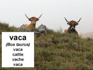 vaca Bos taurus vaca cattle vache vaca A