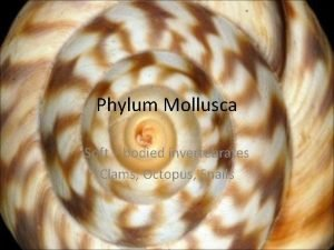 Phylum Mollusca Soft bodied invertebrates Clams Octopus Snails