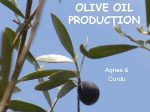 OLIVE OIL PRODUCTION Agnes Cordu History cultivated before