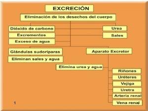 1 1 ESTRUCTURA Y FUNCIONAMIENTO DEL APARATO EXCRETOR