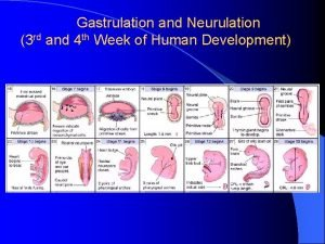 Gastrulation and Neurulation 3 rd and 4 th
