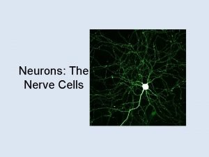 Neurons The Nerve Cells Our Goals Today Identify
