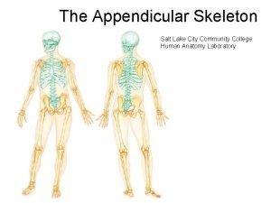 The Appendicular Skeleton Salt Lake City Community College