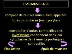 TISSU MUSCULAIRE compos de cellules musculaires appeles fibres