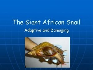 The Giant African Snail Adaptive and Damaging The