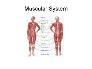 Muscular System Muscular System 1 The Skeleton and