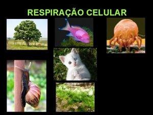 RESPIRAO CELULAR PROFESSOR CLAUDIO GIOVANNINI RESPIRAO CELULAR Metabolismo