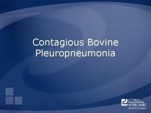 Contagious Bovine Pleuropneumonia Overview Organism Economic Impact Epidemiology